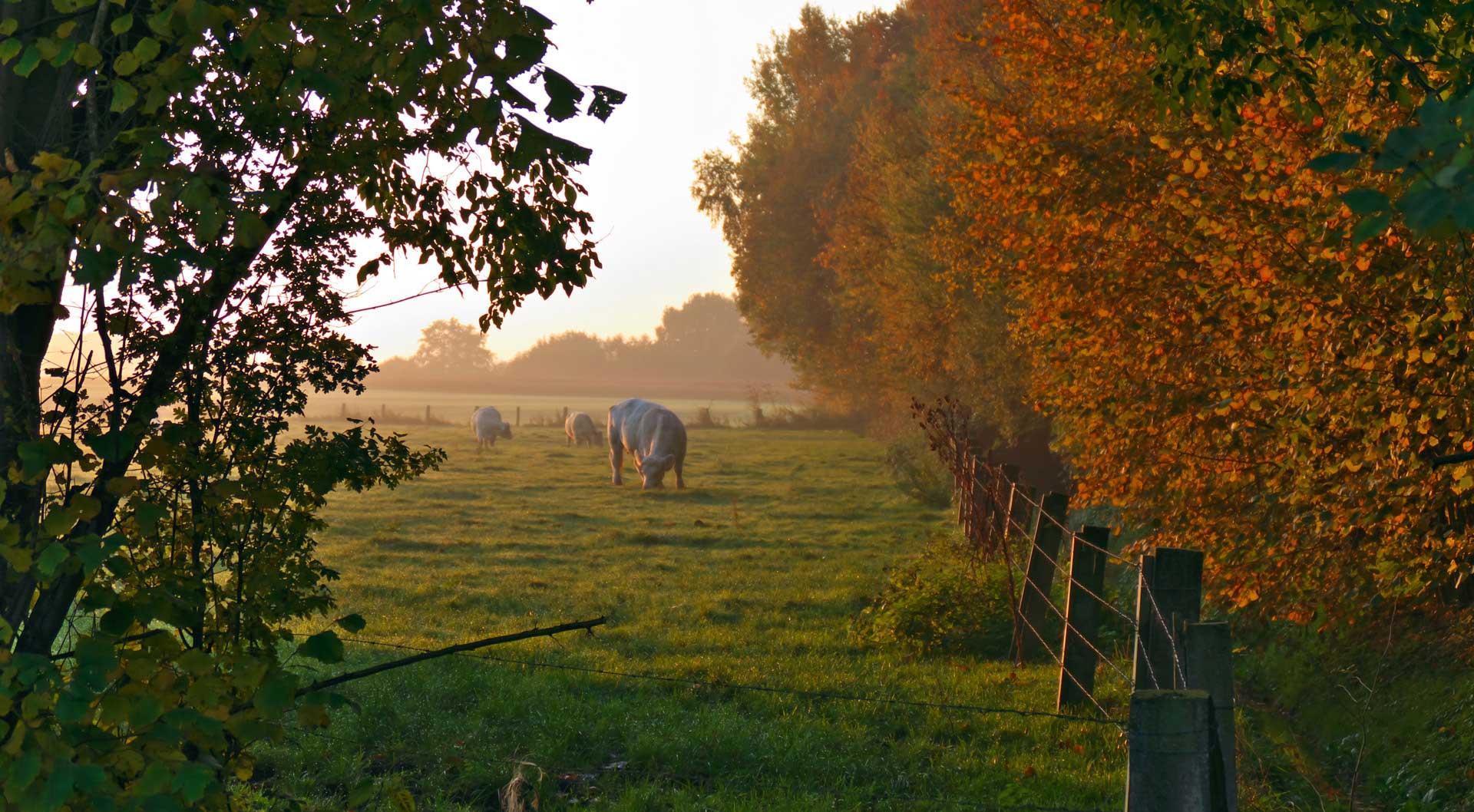 Kuehe im Morgennebel